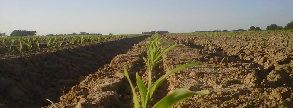corn_960